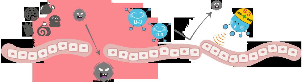 """腸内フローラを""""痩せ体質""""に!ビフィズス菌B-3が太りやすさの原因をブロック"""